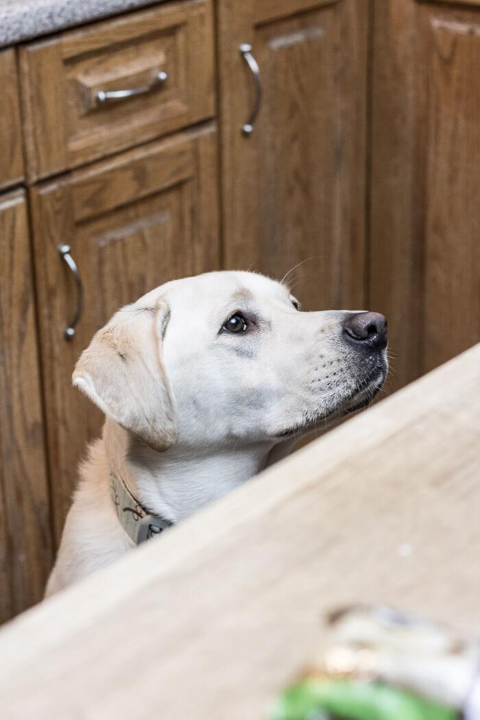 labrador retriever in the kitchen
